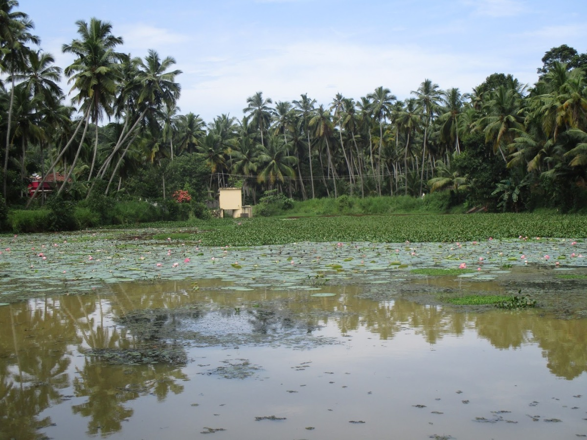 There're no frogs in this pond : -                     ' Thavalayilla Kulam ' at Parassala, Thiruvananthapuram